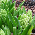 символы техаса, триумф тюльпаны, тюльпаны сорта триумф, тюльпаны триумф фото, праздник цветов фото, весна цветы тюльпаны, клумба тюльпаны, цветущий парк, дендропарк фото