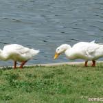 мускусные пекинские утки, пекинская утка, дикие утки фото, смотреть дикие утки, дикая утка природа, река дикая утка, дикие утки пруд, утки парк, штат техас сша, хаффинес, даллас техас, даллас