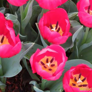 букет алых тюльпанов, алые тюльпаны, фестиваль цветения тюльпанов, тюльпаны красиво фото, дендропарк фото, тюльпановое поле фото, поле тюльпанов фото, поля тюльпанов фото, тюльпан смотреть, тюльпаны фото, цветы тюльпаны фото, праздник тюльпанов, фестиваль тюльпанов