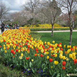 фестиваль цветения тюльпанов, тюльпаны красиво фото, дендропарк фото, тюльпановое поле фото, поле тюльпанов фото, поля тюльпанов фото, тюльпан смотреть, тюльпаны фото, цветы тюльпаны фото, праздник тюльпанов, фестиваль тюльпанов