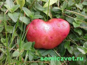 красная картошка, красная картошка фото, красная картошка сорт, картошка алладин, картошка алладин фото, красный картофель фото, сорт красного картофеля фото, сорт картофеля алладин фото