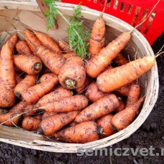 Урожай моркови. Морковку Выращивайте все!